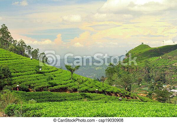 plantation, thé, paysage - csp19030908