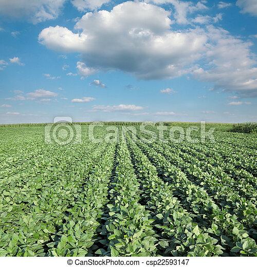 plante, agriculture, soja, champ - csp22593147