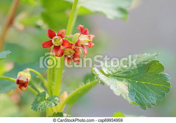 Plante Blossom Jaune Cassis Fleurs Plante Blossom Jaune