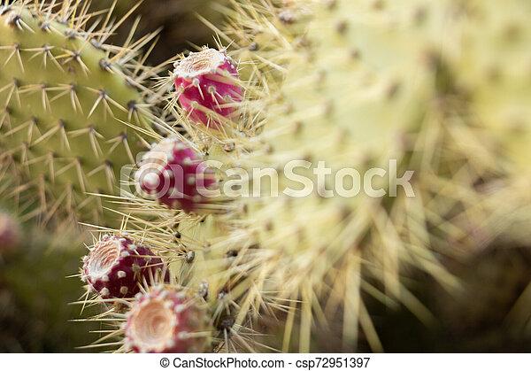 plante, dangereux, détail, poires, leur, colonnes vertébrales, épineux, mais, délicieux, fruits, cactus, rouges - csp72951397