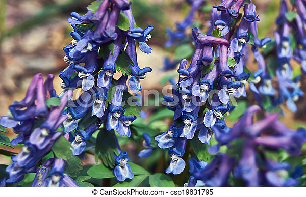 plante, dense, (corudalis, corydalis, solida)., fleurir - csp19831795