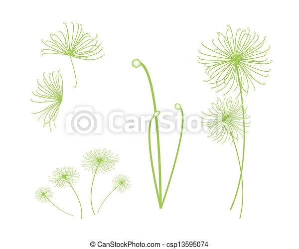 Plante Ensemble Papyrus Cyperus Fond Blanc