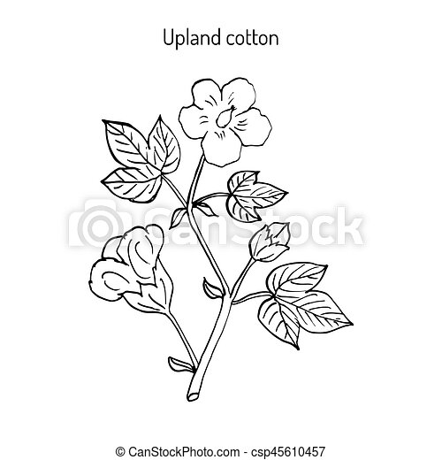 Plante Fleur Coton Plante Flower Illustration Main Vecteur