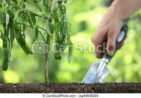 Plante Outillage Jardin Sol Haut Main Poivres Legume Vert