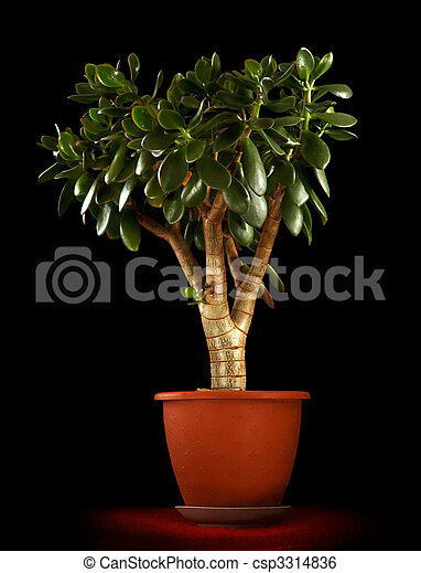 plante ovata argent jade arbre crassula plante image de stock recherchez photos. Black Bedroom Furniture Sets. Home Design Ideas