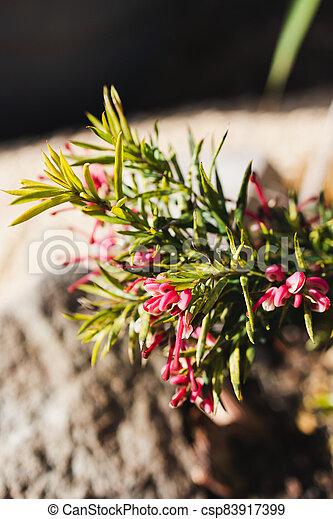 plante, rouges, australien, arrière-cour, indigène, grevillea, ensoleillé, extérieur - csp83917399