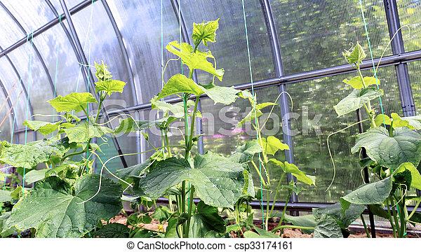 gurka i växthus