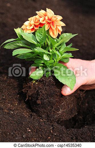Planting dahlia seedling - csp14535340