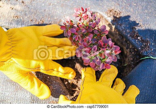 Planting Garden Plants - csp57709001