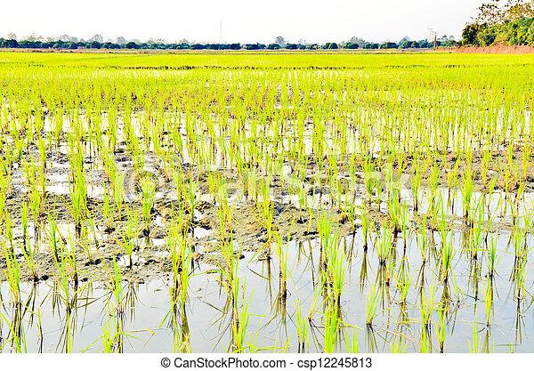 Planting rice backgrown - csp12245813