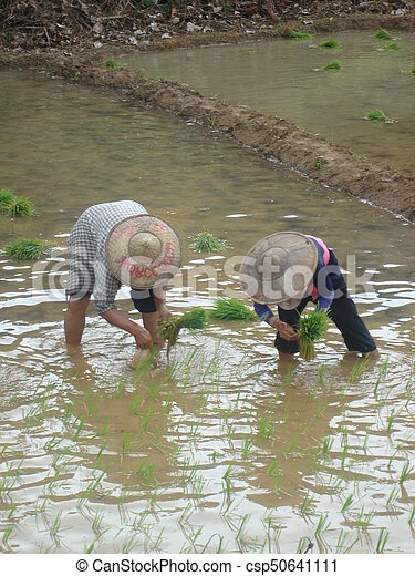Planting rice - csp50641111