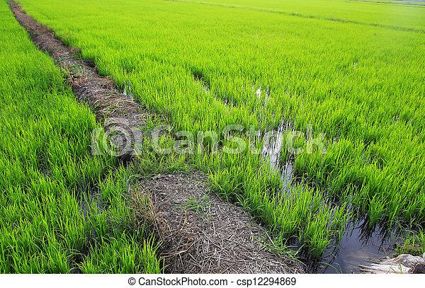 Planting rice - csp12294869