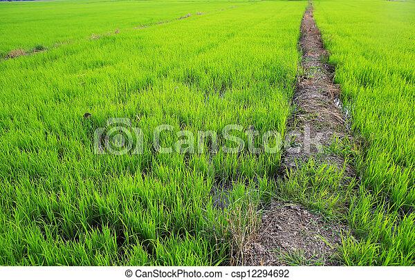 Planting rice - csp12294692