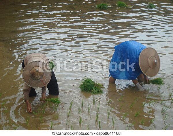Planting rice - csp50641108