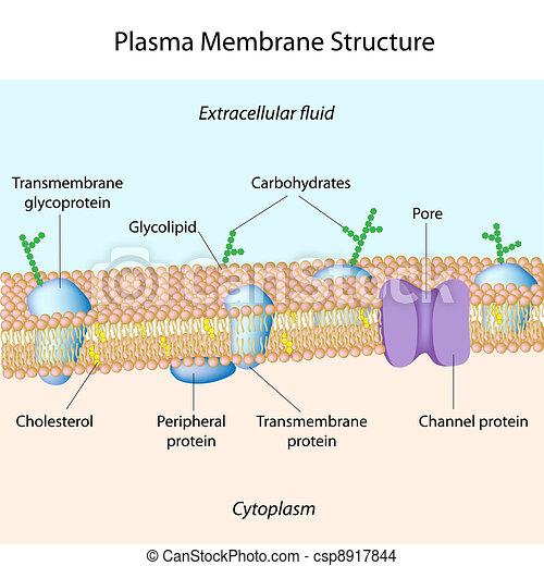 Plasma membrane structure of plasma membrane plasma membrane csp8917844 ccuart Images