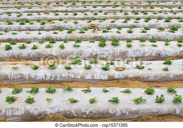 Plastic film mulching peanut in rural area - csp15371265