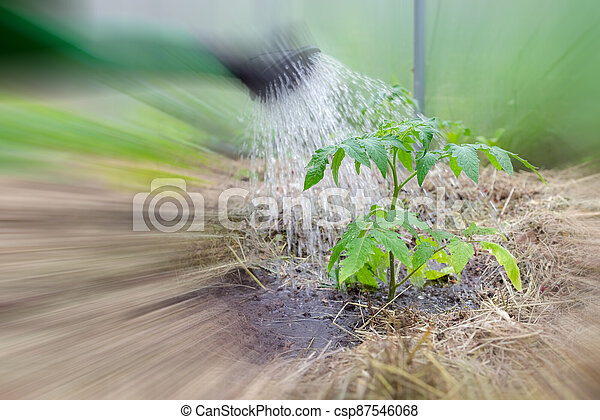 Plastic sprinkling can or funnel watering tomato plant in the greenhouse. Organic home grown tomato plants without vegetables surrounded by mulch being watered - csp87546068