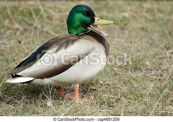 Mallard, o pato salvaje (Anas platyrhynchos - csp4681259
