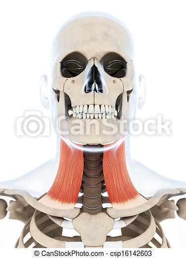 Platysma muscle. 3d rendered illustration of the platysma muscle.