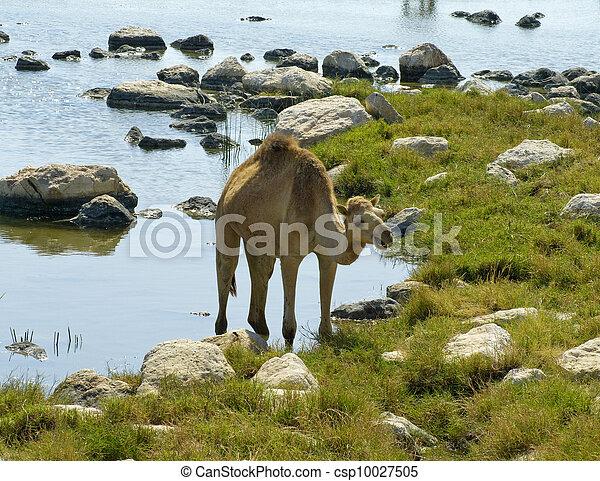 Camellos en la playa, Oman, Oriente Medio - csp10027505