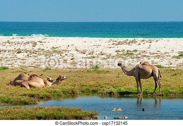 Camellos en la playa, Oman, Oriente Medio - csp17132145
