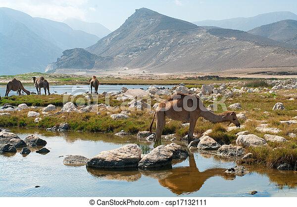 Camellos en la playa, Oman, Oriente Medio - csp17132111