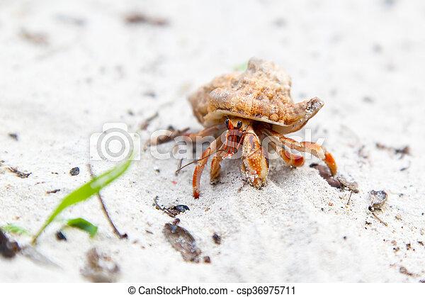 Playa tropical, cangrejo, ermitaño. Ambulante, tropical, pequeño ...