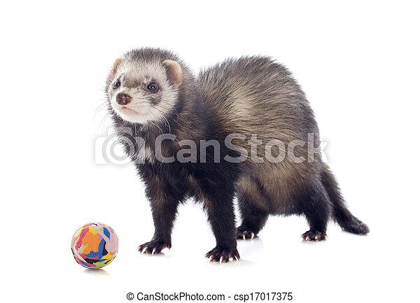 playing brown ferret - csp17017375