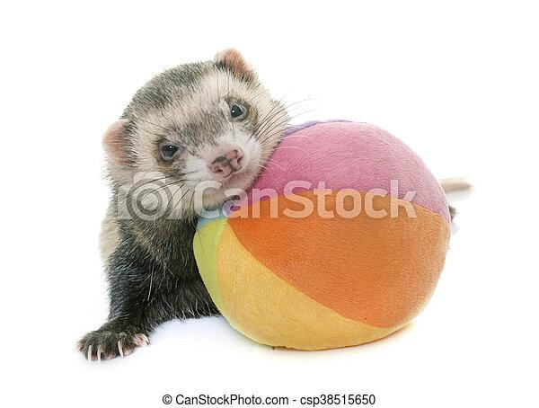 playing ferret in studio - csp38515650