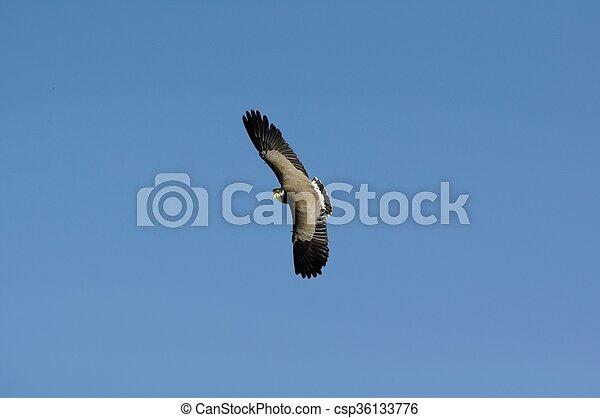 Plover in flight - csp36133776