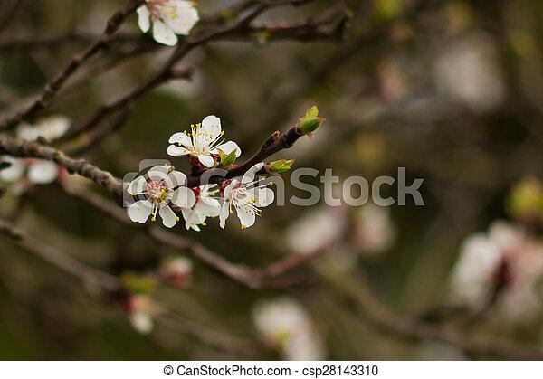 plum. - csp28143310