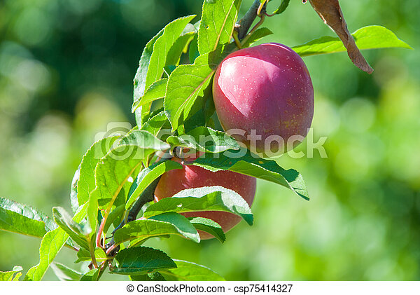 Plum purple with green leaves growing in the garden - csp75414327