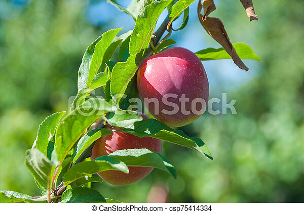Plum purple with green leaves growing in the garden - csp75414334