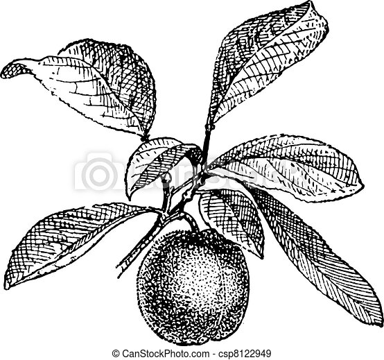 Plum, vintage engraving. - csp8122949