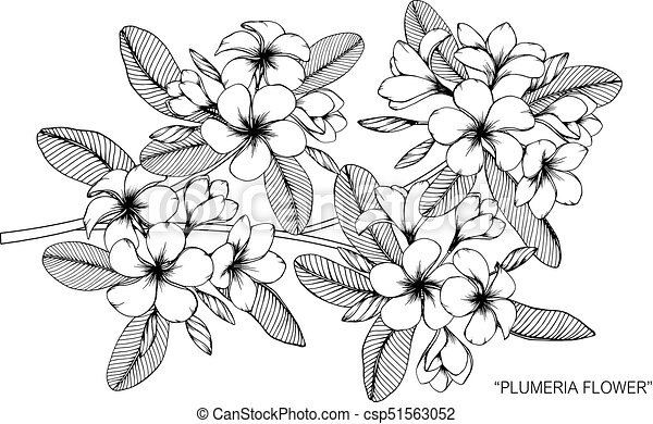 Plumeria flower drawing and sketch with black and white line art mightylinksfo