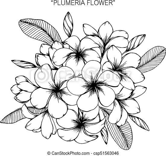 d0ffbc85da589 Plumeria flower. Drawing and sketch with black and white line-art. -  csp51563046