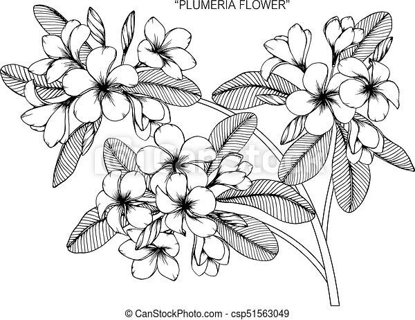 Plumeria flower drawing and sketch with black and white eps plumeria flower drawing and sketch with black and white line art csp51563049 mightylinksfo
