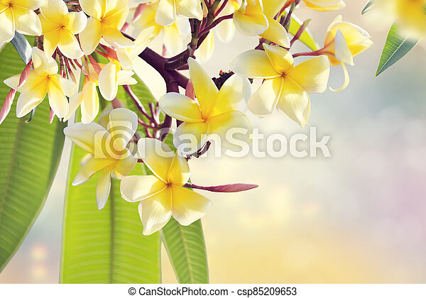 Plumeria flowers on a tree ,close up. - csp85209653