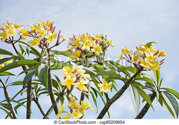 Plumeria flowers on a tree - csp85209654