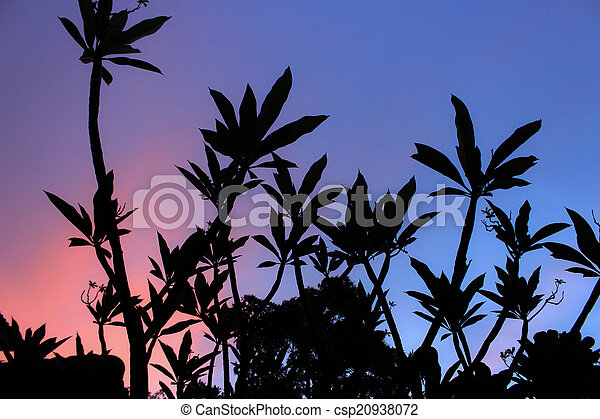 Plumeria in the time of sunset. - csp20938072