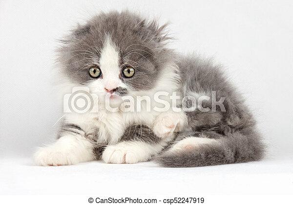 Un gatito esponjoso en un fondo blanco - csp52247919