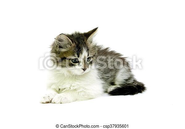 Una gatita esponjosa aislada en el fondo blanco - csp37935601