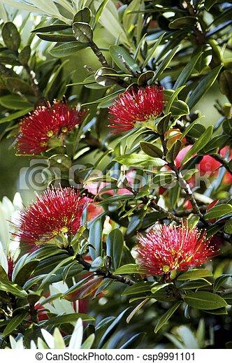 Pohutuakawa Tree New Zealand Pohutuakawa Flower Also Referred To