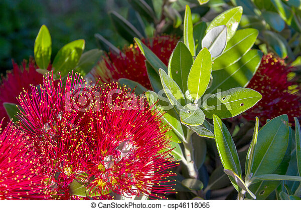 Pohutukawa New Zealand Christmas Tree With Red Flowers Pohutukawa