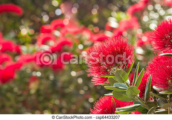 Pohutukawa New Zealand Christmas Tree Flowers In Bloom Pohutukawa