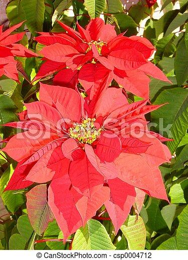 Poinsettia 3 - csp0004712
