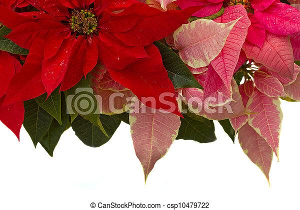 Poinsettia flower - christmas star - csp10479722