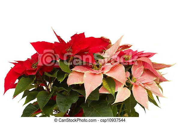 Poinsettia flower - christmas star - csp10937544