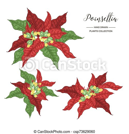 Poinsettia Plant Set Colorful Branches Of Poinsettia Or Christmas Star