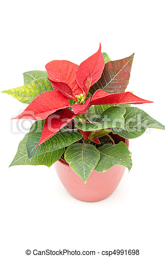 Poinsettia The Christmas Star Flower, isolated on white  - csp4991698